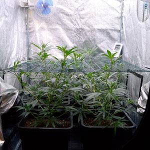 bottom view of marijuana plants  on day 26 of scrogging