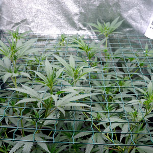 branches of marijuana plants start growing through a screen on day 26 of scrogging