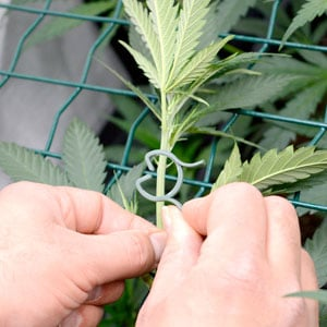 26 days marijuana tie on screen 4