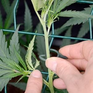 26 days marijuana tie on screen 5