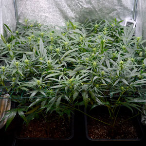 15 days scrog flowering side view