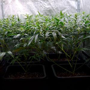15 days scrog flowering bottom view
