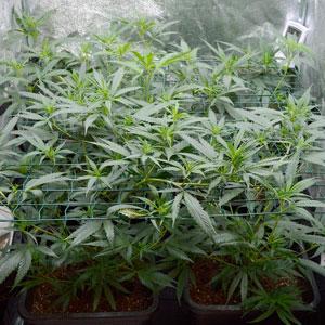 5 days scrog flowering side view