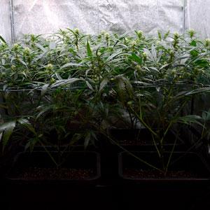 19 days scrog flowering 3