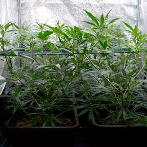 3 days scrog flowering bottom