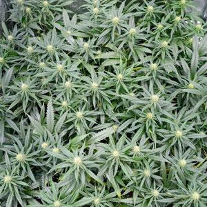 22 days scrog flowering 1