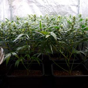 22 days scrog flowering 3