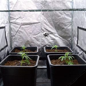 Marijuana let plants grow