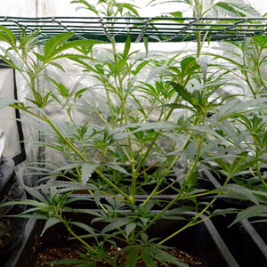 Marijuana plant grows through screen