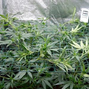 Marijuana plant tied to screen