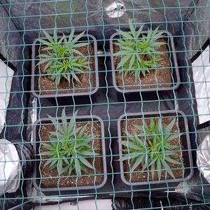 Marijuana plants scrog day 15