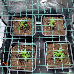 Marijuana plants scrog day 1