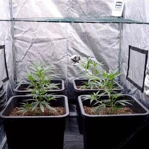 Marijuana plants scrog side 15 days