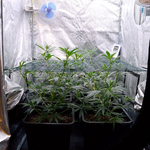 Marijuana plants scrog side 26 days