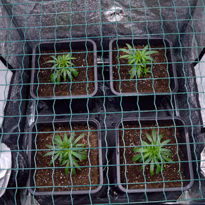 top view of marijuana plants with a screen on day 10 of scrogging