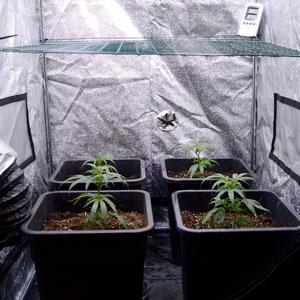 bottom view of marijuana plants on day 10 of scrogging