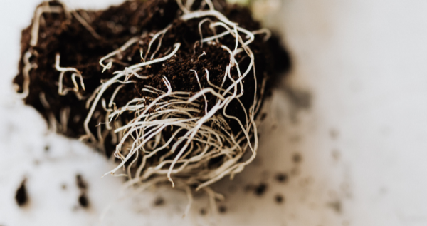 The root system
