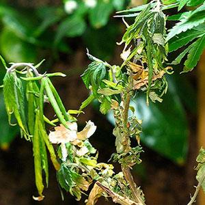 Verticillium Wilt on Marijuana