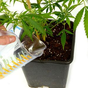 Watering Marijuana plant