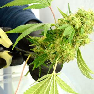 Wet marijuana trimming