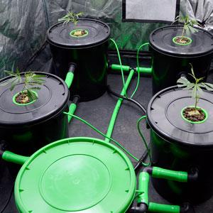 Buckets with marijuana plants