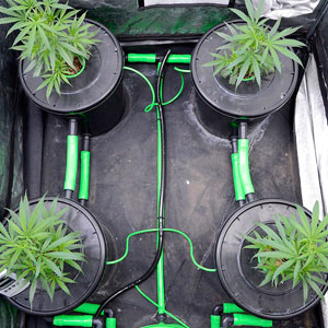 Marijuana grow in bubble buckets
