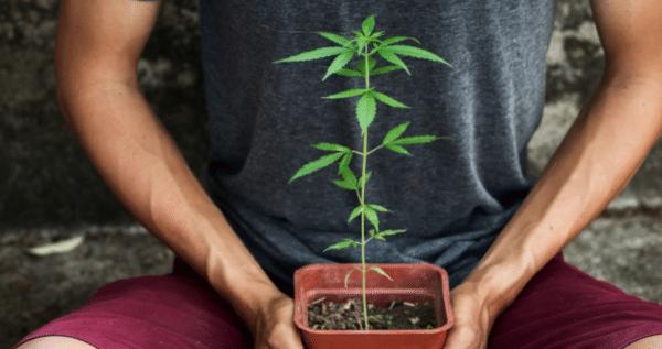 what is marijuana plant