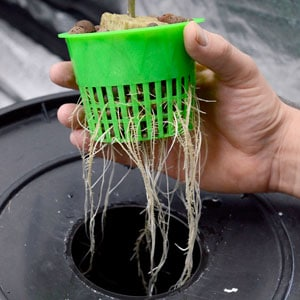 12 days bubble buckets roots 1