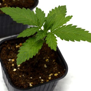 12 days marijuana plants 1/16 gallon pot