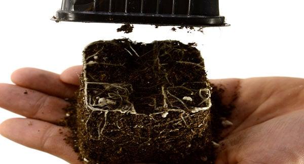 12 days marijuana plants squeeze and lift 1