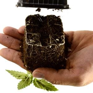 12 days marijuana plants squeeze and lift