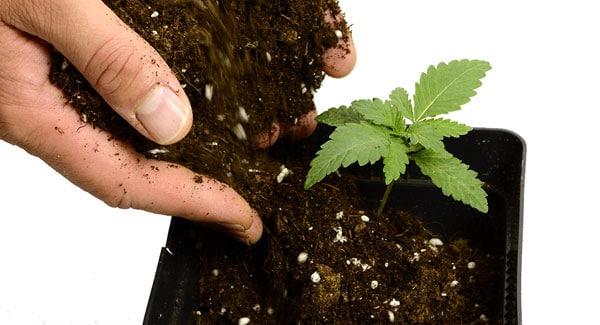 12 days marijuana plants transplant to new pot 1
