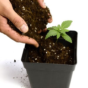 12 days marijuana plants transplant to new pot
