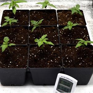 12 days transplanting marijuana plant place under lanp