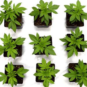 19 days marijuana plants vegetative stage 1