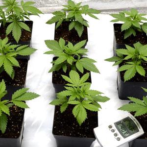 19 days marijuana plants vegetative stage 2