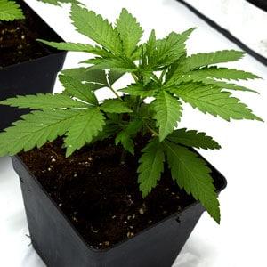 19 days marijuana plants vegetative stage 3