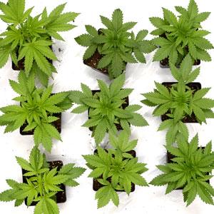 22 days marijuana plants vegetative stage 1