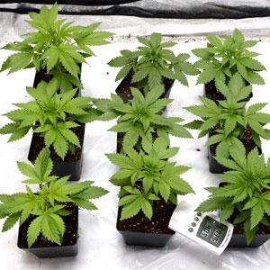 22 days marijuana plants vegetative stage 2