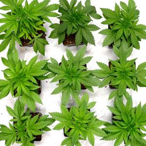 24 days marijuana plants vegetative stage 1