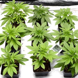 24 days marijuana plants vegetative stage 2