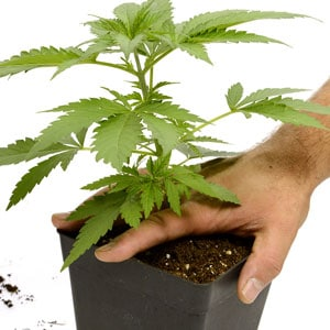 24 days marijuana plants vegetative stage 4
