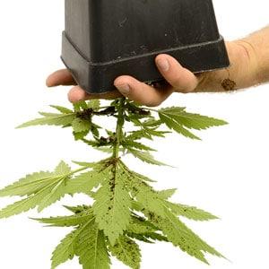24 days marijuana plants vegetative stage 5