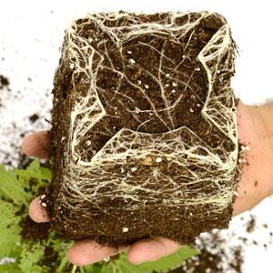 24 days marijuana plants vegetative stage 7