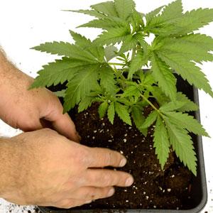 24 days marijuana plants vegetative stage 9