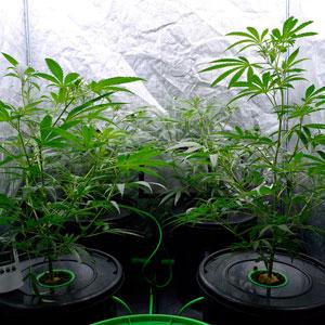 26 days bubble buckets green plants