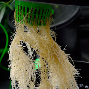 26 days bubble buckets roots 1