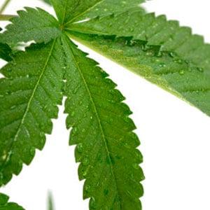 26 days growth marijuana leaf humidity