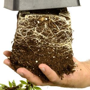 29 days vegetative stage  remove pot