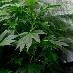 43 days flowering marijuana plants 3